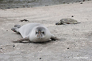 Hawaiian monk seal, Monachus schauinslandi ( Critically Endangered ), 2.5 year old male rests on beach during annual molt, with patches of old fur clinging to its face, while a small green sea turtle, Chelonia mydas, basks in the background at Pu'uhonua o Honaunau ( City of Refuge ) National Historical Park, Kona, Hawaii ( the Big Island )