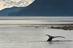 A humpback whale dives in the Sitakaday Narrows of the main bay of Glacier Bay National Park and Preserve in this view seen from Young Island located in the Beardslee Islands of the park in southeast Alaska.