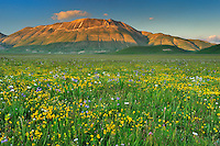 Wildflowers, Piano Grande/Sibillini National Park, Italy; WWoE Mission