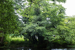 Denham, UK. 13 July, 2020. An ancient alder tree alongside the river Colne which lies close to HS2 ground clearance work at Denham Ford in the Colne Valley.