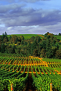 Image of vineyards in the Willamette Valley, Oregon, Pacific Northwest by Andrea Wells