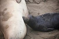 Northern Elephant seal (Mirounga angustirostris) pup nurses from mother on beach, Piedras Blancas, San Simeon, California