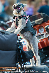 A little biker dog checks out the street during the annual Black Hills Motorcycle Rally. Sturgis, SD, USA. August 8, 2014.  Photography ©2014 Michael Lichter., 2014.