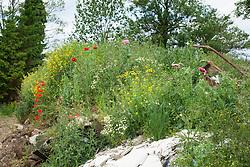 Self sown Opium poppies growing wild on a rubbish heap in Yorkshire. Papaver somniferum