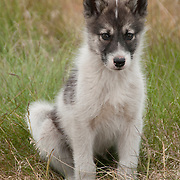 A young sled dog puppy in Greenland.