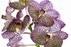 Purple Spotted Vanda Orchid #11