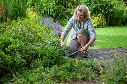 Chopping back Geranium phaeum - Dusky-flowered cranesbill  - stems and leaves after it has finished flowering to encourage a second flush of new growth