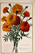 Orange Marigold (Tagetes) a 17th century hand painted on Parchment botany study of a from the Jardin du Roi botanical Florilegium of Prince Eugene of Savoy collection, Paris c. 1670 artist: Nicolas Robert