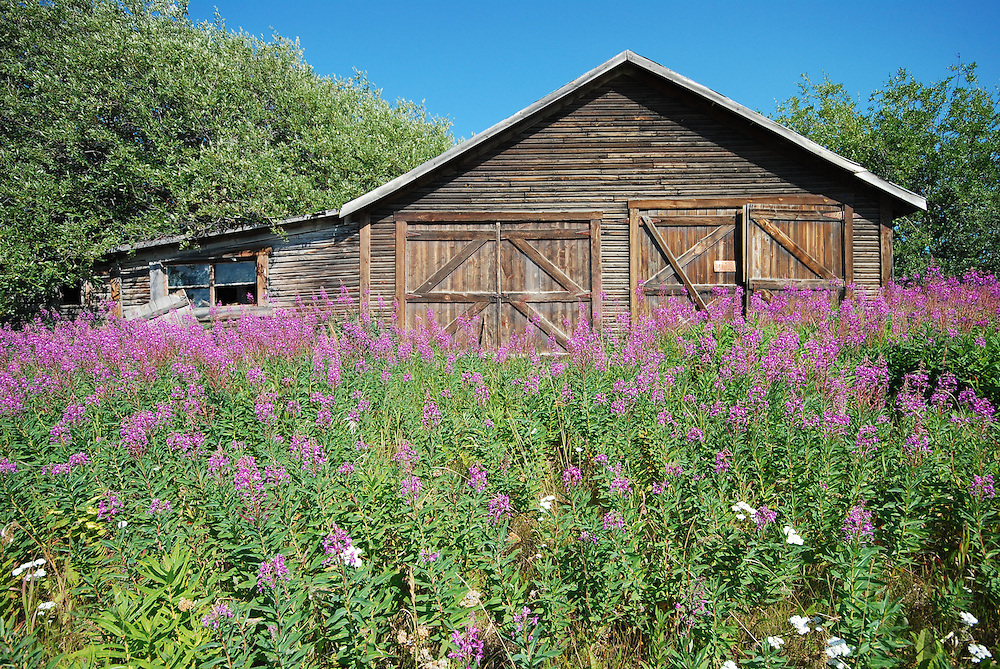 A full crop of fireweed surrounds this old cabin in Atlin, BC.