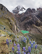Day 3 of 10: Descending from Alto de Pucaraju pass, hike by a small green lake on the side of Nevado Taulliraju. Lupinus (common name lupin or lupine) is a genus in the pea family (also called the legume, bean, or pulse family, Latin name Fabaceae or Leguminosae). Trek 10 days around Alpamayo, in Huascaran National Park (UNESCO World Heritage Site), Cordillera Blanca, Andes Mountains, Peru, South America. This panorama was stitched from 5 overlapping photos.