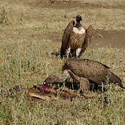 Wildebeest (Connochaetes taurinus) Vultures feeding on dead wildebeest calf. Serengeti National Park. Tanzania. Africa. February.