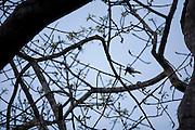 Parauapebas_PA, Brasil...Floresta Nacional de Carajas, Para. Na foto voo de um tucano...The National Forest of Carajas, Para. In the photo a tucan is flying...Foto: JOAO MARCOS ROSA / NITRO