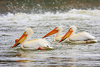 Carseland Weir is home to dozens of these beautiful birds every spring and summer.  This was my second visit of the season, but it was the first time that I found any Pelicans.  They were initially wary of me, but I sat on the rocks and waited and they eventually floated close enough for me to make some great images.<br /> <br /> ©2009, Sean Phillips<br /> http://www.Sean-Phillips.com