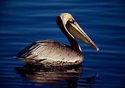 Brown Pelican, Pelicanus occidentalis, Everglades National Park, Florida.