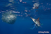 striped marlin, Kajikia audax (formerly Tetrapturus audax ), chases down sardine that has become separated from baitball of sardines or pilchards, Sardinops sagax, off Baja California, Mexico ( Eastern Pacific Ocean ) #1 in sequence of 3 images
