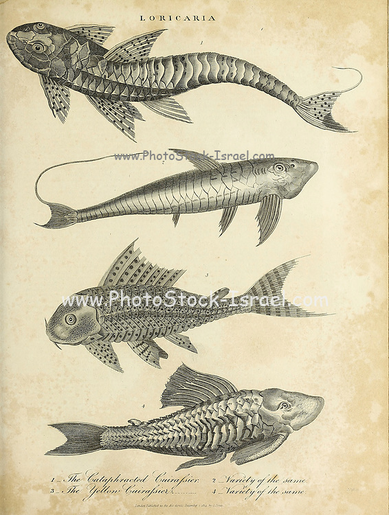 Loricaria is a genus of armored catfish native to South America. Copperplate engraving From the Encyclopaedia Londinensis or, Universal dictionary of arts, sciences, and literature; Volume XIII;  Edited by Wilkes, John. Published in London in 1815