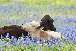 Cows in bluebonnets, Texas Hill Country, USA.