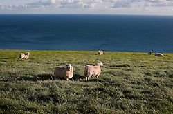 Sheep on the Jurassic Coast near Durdle Door, Dorset, England, UK.