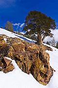 Rock and tree in winter, Ansel Adams Wilderness, Sierra Nevada Mountains, California USA