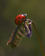 A ladybug in a field near the University of Washington. (Tom Reese / The Seattle Times)