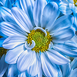 Soft Cobalt, Baby Blue Flower Petals In A Square Format. This Blue Spraid Gerber Daisy Adds A Baby Blue Soft Focus For Your Walls. Add some fresh seasonal color to floral arrangements and decor with this Wild Gerbera. With a just picked look that will never fade, it's even better than the real thing. This stem contains one bloom and no leaves.