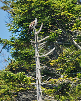 Osprey (Pandion haliaetus. Northern Pacific Coast Highway, California. Image taken with a Nikon D200 camera and 80-400 mm lens.