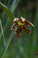 "Also known as the checker lily or mission bells, the chocolate lily (Fritillaria lanceolata - fritillaria refers the mottled or checkered pattern on the petals) is a native, somewhat uncommon to rare member of the lily family found in cool mid-elevation mountains to coastal forests ranging from Northern California to British Columbia, and as far east as Idaho. One the eastern side of the Cascade Mountains it can be found growing in open prairies and grassy bluffs. The chocolate lily grows from tiny rice-like bulbs and once was used as a food source to the indigenous people who have lived here for millennia. The Haida, a tribe from British Columbia when first introduced to rice, referred to this new food as ""fritillary-teeth."" This one was found and photographed in the Olympic National Forest next to Lake Cushman on a bright and sunny May spring morning, just west of Hoodsport, Washington."