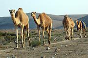 Israel, Negev Desert, A herd of Arabian camels (Camelus dromedarius)