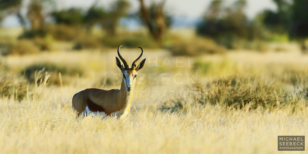 A solitary springbok bathed in late afternoon sunlight on the plains of western Namibia.<br /> <br /> Open Edition Print / Stock Image