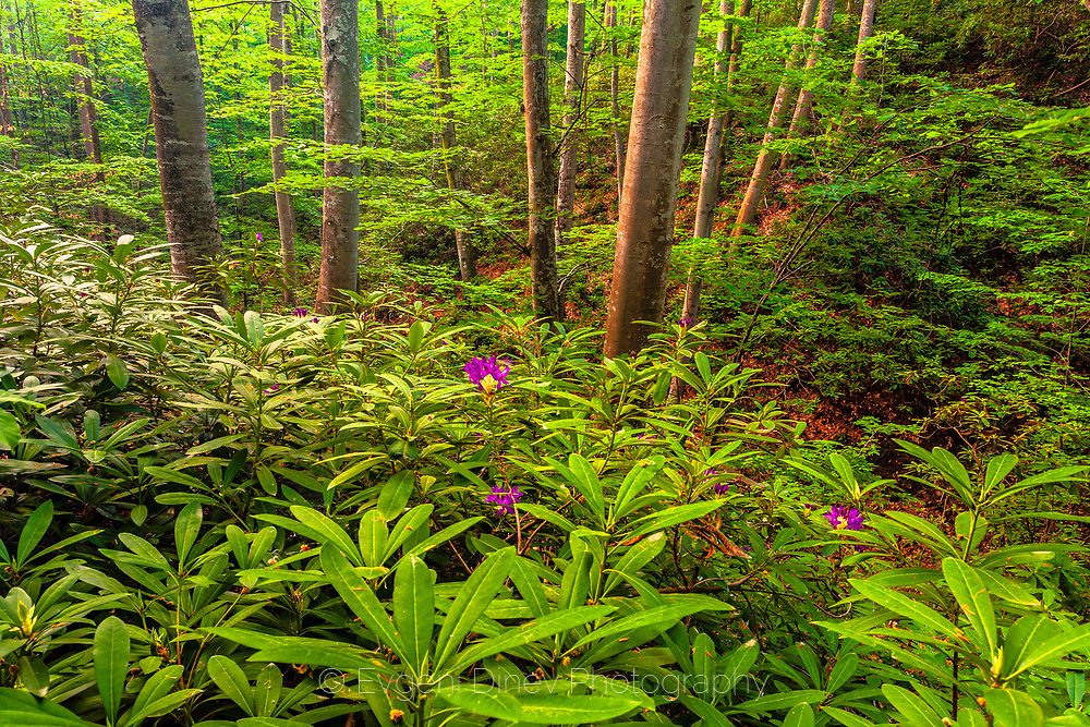 Plants of Rhododendron Ponticum in Strandzha Mountains
