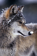 Portrait of a grey wolf (Canis lupus) photographed in Washington State. Captive.