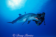 Spot, a wild, lone, sociable bottlenose dolphin, Tursiops truncatus, plays with a gorgonian branch, Cayman Islands ( Caribbean Sea ) MR 281