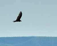 Turkey Vulture (Cathartes aura). Carlsbad Caverns National Park, New Mexico. Image taken with a Nikon D200 camera and 80-400 mm lens.