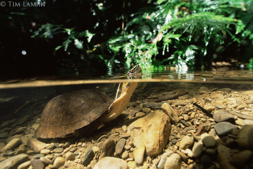 A turtle in a rain forest stream..Sierra Madre National Park, Luzon, Philippines.  Sep 01.