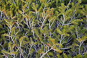 Detail of the branches of dwarfed, windswept conifer shrubs in an alpine basin in the Never Summer Wilderness, Colorado.