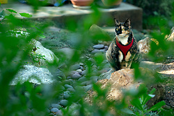 Zelda the cat sniffs around the back yard of her Oakland, Calif. home, Saturday, Jan. 16, 2021. (Photo by D. Ross Cameron)