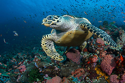 A Hawksbill Turtle, Eretmochelys imbricata, cruises over a coral-covered substrate. Komodo Marine National Park, Indonesia, Pacific Ocean
