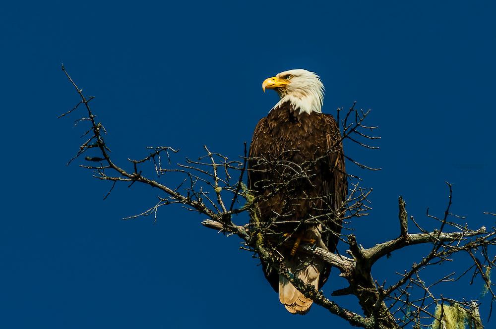 Bald eagle, Magoun Islands State Marine Park, Krestof Sound, southeast Alaska USA.