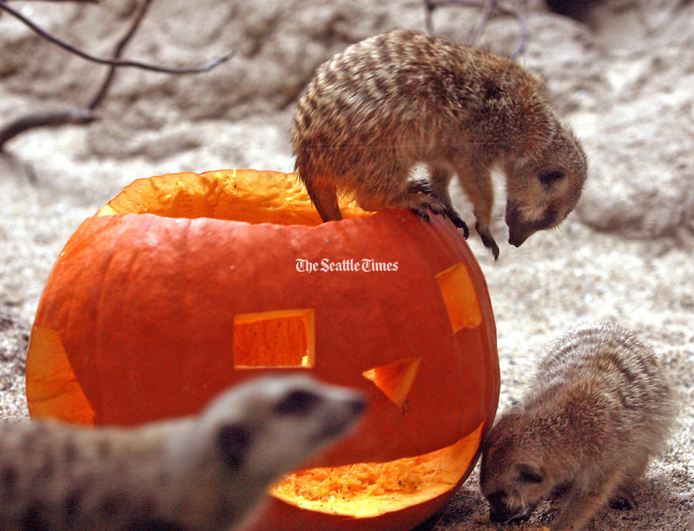 Meerkats explore inside and outside of a pumpkin left in their cage.<br /> Greg Gilbert / The Seattle Times
