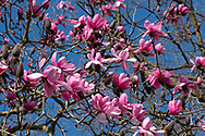 Magnolia campbellii against a blue sky, Kew Gardens, London, UK