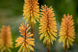 Kniphofia 'Rich Echoes' AGM. Red-hot poker
