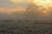 © Licensed to London News Pictures. 10/12/2013. Richmond, UK. Deer graze in the frosty ground. Sunrise and deer in Richmond Park, Surrey, this morning 10 December. Photo credit : Stephen Simpson/LNP