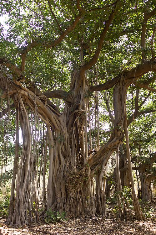 Ancient 300-year-old Banyan Trees in Ranthambhore National Park, Rajasthan, Northern India