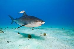 Tiger Shark, Galeocerdo cuvier, accompanied by lone Blue Runner jack, Caranx crysos, West End, Grand Bahama, Atlantic Ocean