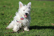 This is Hamish, a 4 month-old West Highland White Terrier (Westie) puppy, enjoying a spot of sunshine.