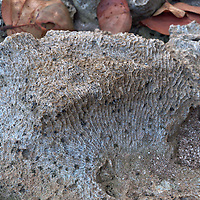 A fossilized piece of a coral reef, in Puerto Viejo de Talamanca, Costa Rica. Photo by WIlliam Drumm.