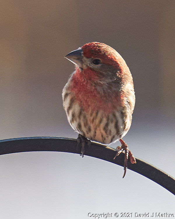 House Finch (Haemorhous mexicanus). Image taken with a Leica CL camera and 90-280 mm lens.