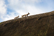 Thatch fox and cub thatched cottage roof in village of Bishopstone, Wiltshire, England, UK