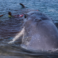 """Sperm Whale Landing<br /> <br /> Today, the body of the whale which had been previously pierced by Lamafa Petrus a week ago was found dead floating at sea. The whale must have drifted away by currents and eventually had been retaken by the crew of Lamafa Goris, who in a calm, snugly towed it alongside, without risk of life or line. Just yesterday, this very crew was blessing their """"Leo"""" – the sacred rope which is attached to the bamboo harpoon. Although having basically killed this whale, Papa Petro has no right to receive any share of it, as it belongs to the crew which brings the catch back ashore. <br /> <br /> However, now the whale is to be landed at Lamalera's beach. Because he had been killed just before the official whaling season, the Lamalerans consider it a gift from their ancestors and Ina Leva. It requires over a dozen men to tie up this weighty gift."""