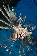 Volitans or Black lionfish (Pterois Volitans) or Red Firefish - Agincourt reef, Great Barrier Reef, Queensland, Australia. <br /> <br /> Editions:- Open Edition Print / Stock Image